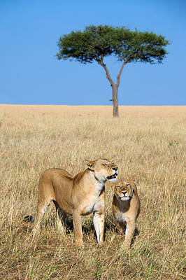 African Lioness Panthera Leo, Serengeti Art Print by Panoramic Images