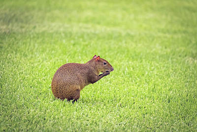 Photograph - Agouti by Peter Lakomy