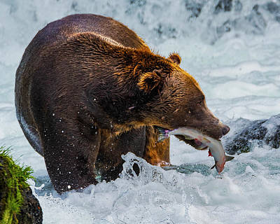 Photograph - Alaska Brown Bear by Norman Hall