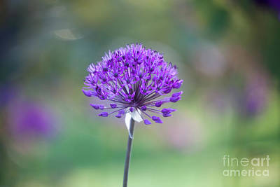 Photograph - Allium by Kati Finell