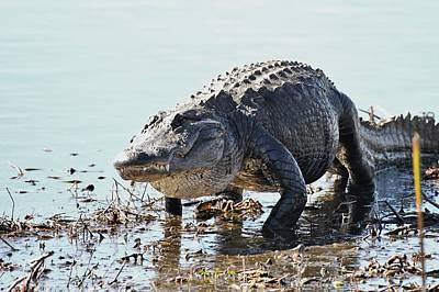 Photograph - American Alligator by David Campione