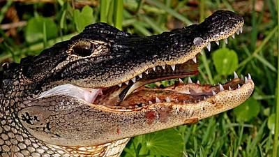 Photograph - American Alligator by Ira Runyan