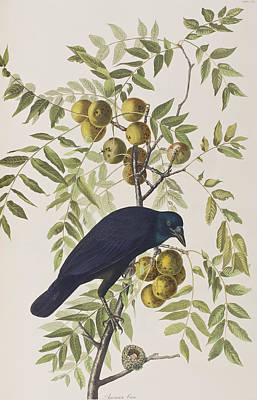 Crow Painting - American Crow by John James Audubon