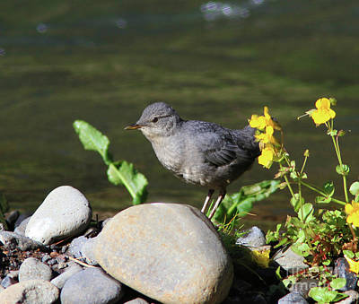 Yellow Photograph - American Dipper by Gary Wing