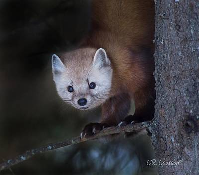 Photograph - American Marten by CR Courson