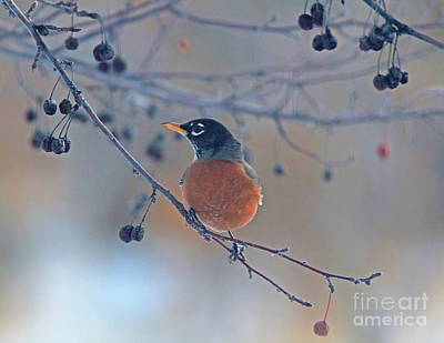 Yellow Photograph - American Robin by Gary Wing