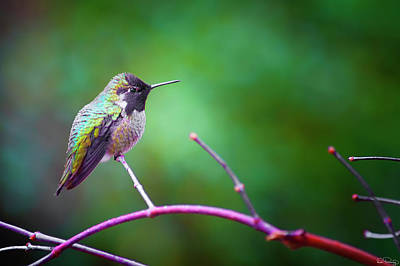 Photograph - Anna Hummingbird Perched On A Branch by Dee Browning