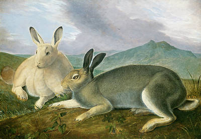 Painting -  Arctic Hare by John James Audubon