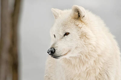 Black. Arctic Wolf Photograph - Arctic Wolf Portrait by Michael Cummings