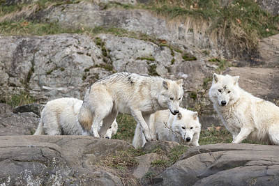 Photograph - Arctic Wolves by Josef Pittner