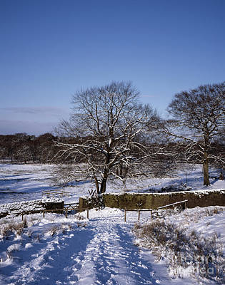 Comedian Drawings - Ash Trees in the  snow near Lyme Park  between Poynton and Disley Cheshire England by Michael Walters