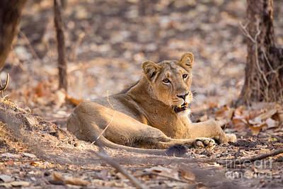 Asiatic Lion, India Art Print