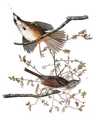 Photograph - Audubon: Sparrow, (1827-38) by Granger