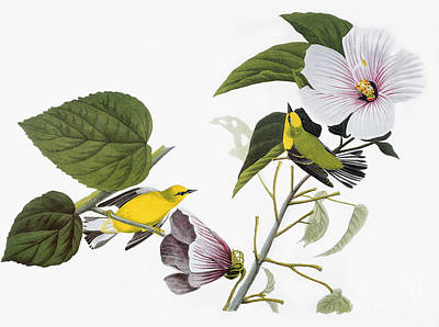 Photograph - Audubon Warbler by John James Audubon
