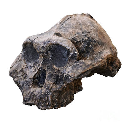 Photograph - Australopithecine Skull by Babak Tafreshi
