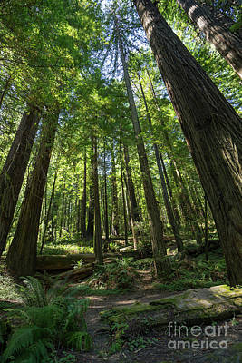 Photograph - Avenue Of The Giants Redwood Trees California Dsc5458 by Wingsdomain Art and Photography