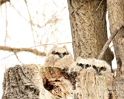 Photograph - 3 Baby Owlets by Heather King