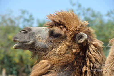 Portrait Photograph - Bactrian Camel by George Atsametakis