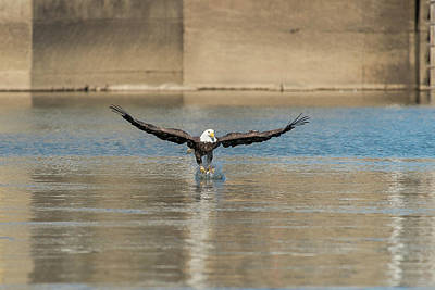 Photograph - Bald Eagle Catching Fish Out Of The Water by Dan Friend