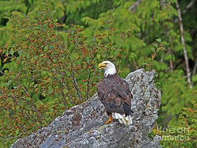 Brown Photograph - Bald Eagle by Gary Wing