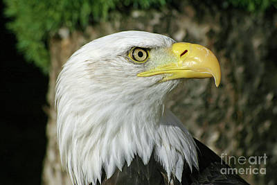 Abstract Animalia Royalty Free Images - Bald eagle Royalty-Free Image by John Biglin
