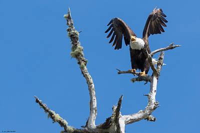 Photograph - Bald Eagle by John Pavolich