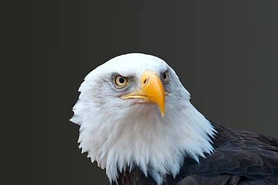 Photograph - Bald Eagle by Steve Stuller
