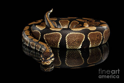 Reptile Photograph - Ball Or Royal Python Snake On Isolated Black Background by Sergey Taran