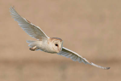 Hunting Bird Photograph - Barn Owl by Ian Hufton