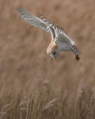 Barred Owl Photograph - Barn Owl In Flight by Ian Hufton