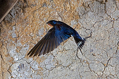 Barn Swallow Hirundo Rustica Art Print by Gerard Lacz
