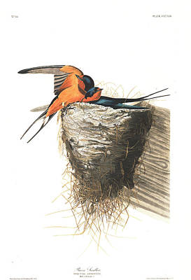Swallow Wall Art - Painting - Barn Swallow by John James Audubon