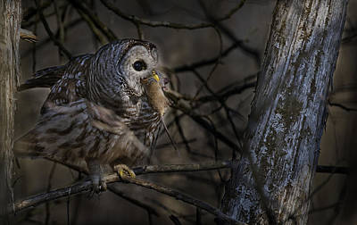 Birds Mixed Media - Barred Owl In Pine Tree by Michael Cummings