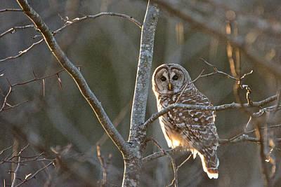 Photograph - Barred Owl by Linda Shannon Morgan