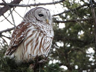 Photograph - Barred Owl by Rebecca Overton
