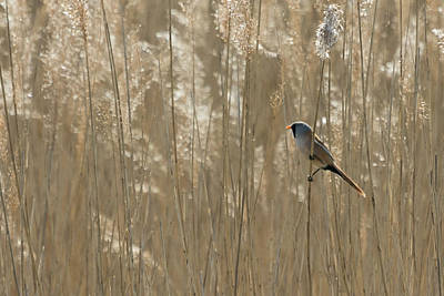Photograph - Bearded Reedling by Wendy Cooper
