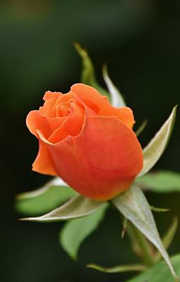 Photograph - beautiful orange Rose by Werner Lehmann