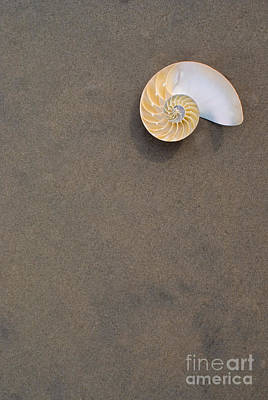 Bellybutton Photograph - Bellybutton Nautilus - Nautilus Macromphalus by Anthony Totah