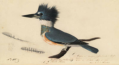 Drawing - Belted Kingfisher by John James Audubon