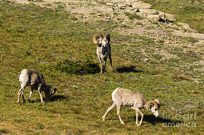 Photograph - 3 Big Horn Sheep by Louise Magno