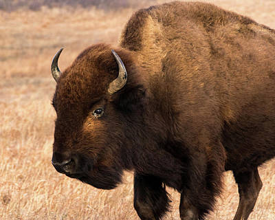 Photograph - Bison by Jay Stockhaus