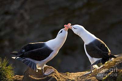 Black-browed Albatross Couple Art Print