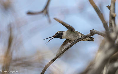 Photograph - Black-chinned Hummingbird by Dee Carpenter