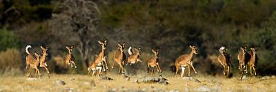 Animal Behavior Photograph - Black-faced Impala Aepyceros Melampus by Panoramic Images