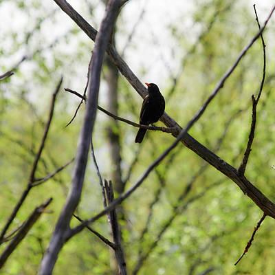 Photograph - Blackbird by Jouko Lehto