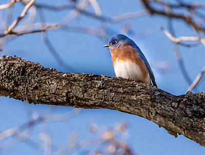 Photograph - Blue Bird by John Johnson