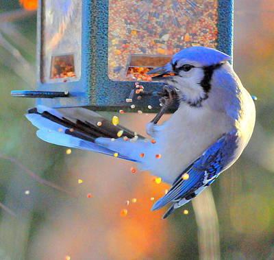 Blue Jay Original by Aron Chervin