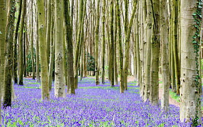 Photograph - Bluebells by Colin Rayner