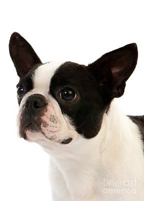 Bitch Photograph - Boston Terrier Dog by Gerard Lacz