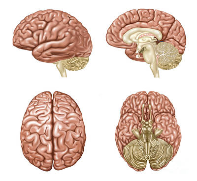 Photograph - Brain Anatomy, Illustration by Gwen Shockey